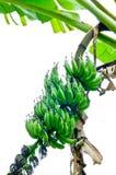 Green banana Stock Image