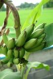 Green banana on tree Stock Photography