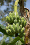 Green banana on tree, Pisang Awak banana Stock Image