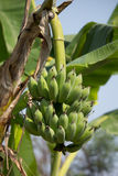 Green banana on tree, Pisang Awak banana Stock Images