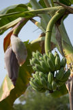 Green banana on tree, Pisang Awak banana Royalty Free Stock Photo