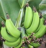 Green bananas. On the banana tree Stock Image