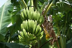 Green bananas. Beautiful green bananas with the plantain tree Stock Photography