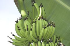Green bananas Stock Images