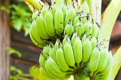 Green   bananas. The   green   bananas   on  the  trees Stock Photo