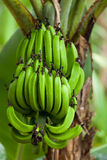 Green bananas. A bunch of bananas in their natural environment Royalty Free Stock Photography