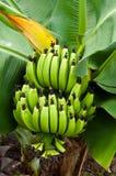 Green bananas. Image of green bananas in a tree,Thailand Royalty Free Stock Images