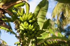 Green bananas. On a palm tree Royalty Free Stock Photo