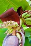 Green bananas Stock Images