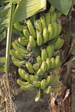 Green Bananas. Green Banana, Banane, Musa X Paradisiaca L, India Royalty Free Stock Photography