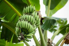 Green bananas on banana Tree stock image
