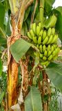 Green Bananas on Banana Tree royalty free stock photography