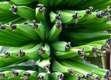 Green bananas in bunch