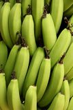 Green Bananas. A bunch of Bananas growing in a garden on the island of Moorea, French Polynesia Stock Photos