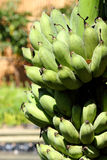 Green  bananas bunch Stock Image