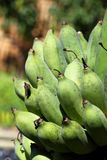 Green bananas bunch raw Royalty Free Stock Images