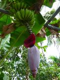 Green bananas and the flower bud of a banana tree Royalty Free Stock Image
