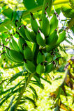 Green bananas. In the forest Royalty Free Stock Image