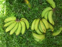 Green Bananas Royalty Free Stock Photos