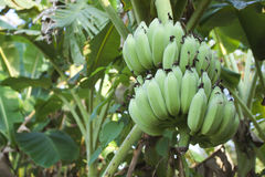 Green bananas growing on the banana palm Royalty Free Stock Photo
