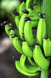 Green Bananas growing on a banana plant Stock Images