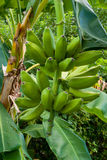 Green bananas growing on a tree Royalty Free Stock Images