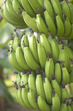 Green bananas Growing on the tree Royalty Free Stock Photo