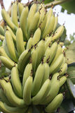 Green bananas growing in a tropical rain forest. Bunches of green bananas growing Stock Photography