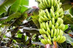 Green Bananas Hanging on Banana Tree Royalty Free Stock Image