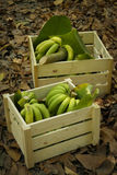 Green Bananas In Wood Boxes Royalty Free Stock Photography