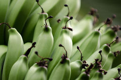 Green Bananas. A large bunch of green bananas, still on the tree royalty free stock photography