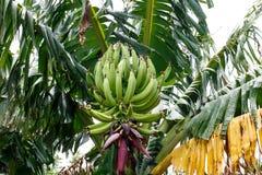 Green bananas on palm tree Stock Photo