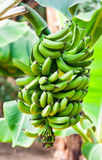 Green bananas palma Hallim Park of Jeju Royalty Free Stock Photos