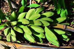 Green bananas  plantain tree. Stock Photos
