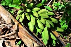 Green bananas  plantain tree. Royalty Free Stock Photos