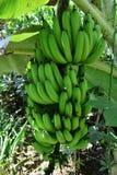 Green bananas  plantain tree. Stock Photography