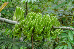 Green bananas plantation in the garden. The banana is an edible fruit, botanically a berry, produced by several kinds of large herbaceous flowering plants in Royalty Free Stock Images