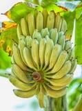 Green bananas ripen on the branch. Of palm tree. Heap of green banana Royalty Free Stock Image