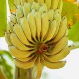 Green bananas ripen on the branch. Of palm tree. Heap of green banana Royalty Free Stock Photography
