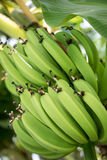 Green Bananas ripen in the rich tropical sun Royalty Free Stock Photography