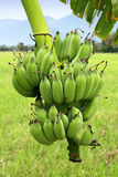 Green Bananas on Tree Stock Photos