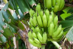 Green bananas on tree Stock Image