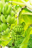 Green bananas on tree. Several large bunches of green bananas growing on trees Royalty Free Stock Images