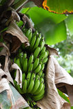 Green bananas on a tree. This fruit can be found almost everywhere around asia Royalty Free Stock Photo