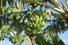 Green bananas on tree Stock Images