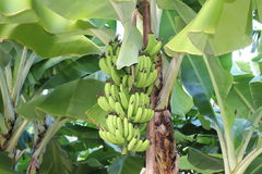 Green bananas on tree. Against blue sky Royalty Free Stock Image