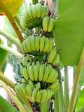 Green bananas on tree Royalty Free Stock Photo