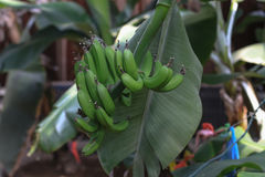 Green bananas on a tree in a botanical garden Royalty Free Stock Photography