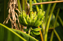 Green bananas on a tree Stock Photos