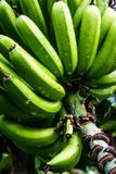 Green bananas in a tree Stock Image